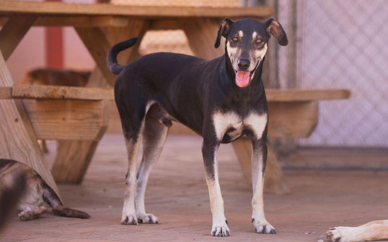 Dumper DOG Curacao 2 (3)